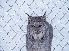 Chain Lynx Fence (montrealmaggie) Tags: fence hff lynx winter fur animal ecomuseum