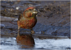 Parrot Crossbill (Gary Watson) Tags: canon7d canon500f4 parrot crossbill breckland norfolk woodland puddle drinking