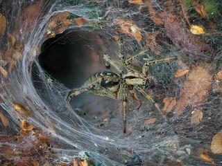 Labyrinthspinne (Agelena labyrinthica) vor ihrer Gespinnströhre mit einem erbeuteten Käfer
