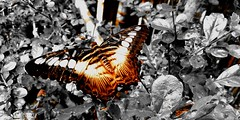 Exposure (canencia) Tags: exposure racs0706 racs0607 huawei butterfly wings orange nature vacation philippines bohol loboc cebuano racs province tourist pinoy black