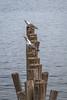 Gaviotas de Cudillero (efe Marimon) Tags: canoneos70d felixmarimon asturias cantábrico puerto cudillero gaviotas