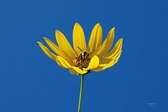 Vespa (Carlos Santos - Alapraia) Tags: vespa insecto flor flower nature natureza