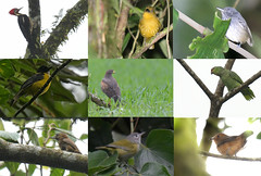Record Shots - Arenal (Adam Dhalla) Tags: birds shots costa rica arenal wild
