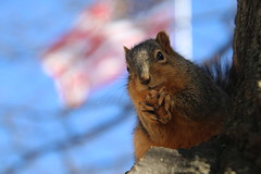 Squirrels in Ann Arbor at the University of Michigan  (January 26th, 2018) (cseeman) Tags: gobluesquirrels squirrels annarbor michigan animal campus universityofmichigan umsquirrels01262018 winter eating peanut januaryumsquirrel