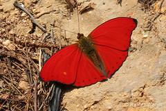 IMG_6325 Cymothoe mabillei ♂ (Raiwen) Tags: cymothoemabillei cymothoe limenitidinae nymphalidae lepidoptera butterfly westernredclider guinea westafrica