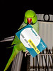 whats in your bill fold (x-raymond) Tags: billfold wallet green bird sidney card animal annual fee indianringneck no bill sunnyyellow smileonsaturdays halsbandsittich