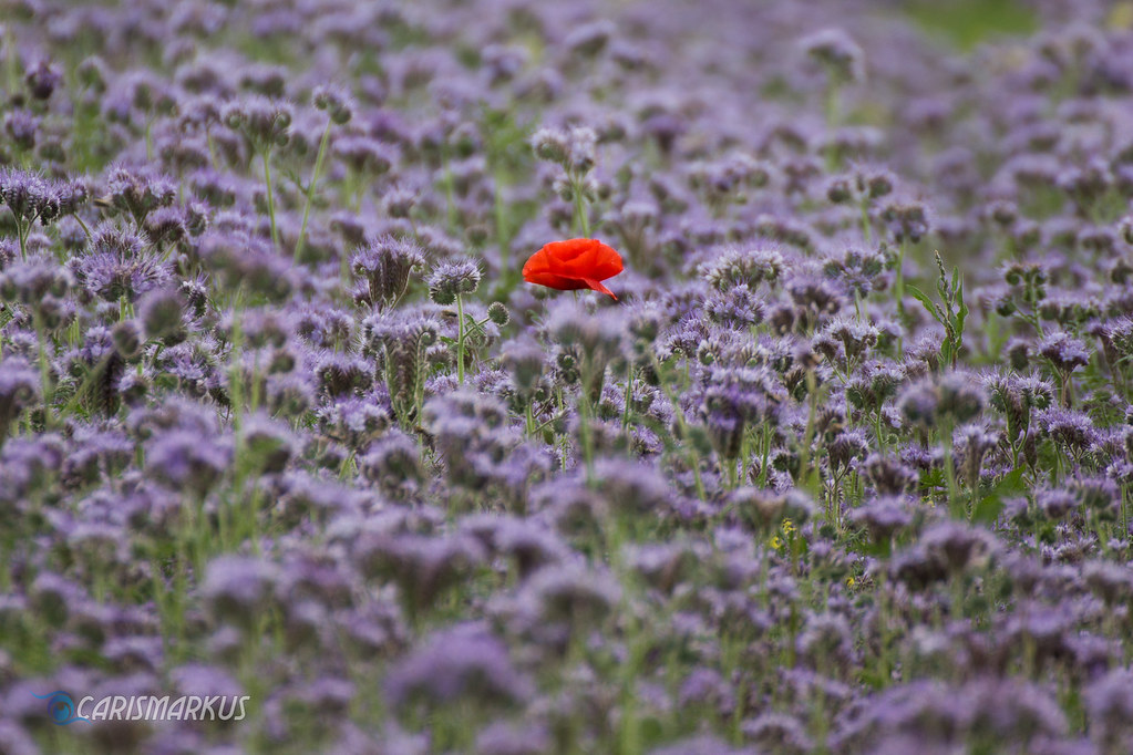 The Red One (2018) (Carismarkus) Tags: Minimal Minimalism Minimalismus Blume  Mohn