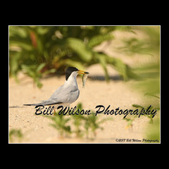 least tern (wildlifephotonj) Tags: leasttern leastterns terns tern beachbirds wildlifephotographynj naturephotographynj wildlifephotography wildlife nature naturephotography wildlifephotos naturephotos natureprints birds bird
