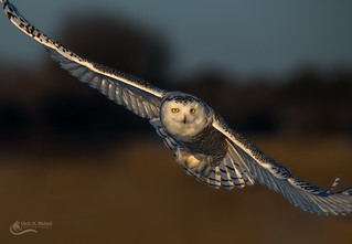 Snowy Owl - On the Fly