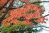 Acer saccharum Marsh.- Suikeresdoorn - Kew Gardens (Ruud de Block) Tags: kewgardens royalbotanicgardens ruuddeblock sapindaceae acersaccharum acer saccharum suikeresdoorn