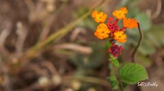 Flower (SarojPadhy) Tags: ooty flower flowerwatcher
