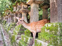 Gods' messengers  ..Japan (geolis06) Tags: geolis06 asia asie japan japon 日本 2017 nara shinto shintoïsme olympuspenf olympusm918mmf4056 patrimoinemondial unesco unescoworldheritage unescosite zen bouddhiste bouddhistme jardin garden cerf cerfshika daim 鹿