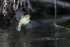 329.jpg (Kico Lopez) Tags: mosquiterocomún miño lugo aves galicia birds phylloscopuscollybita spain rio