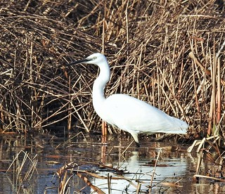 Little Egret In Farm Pond at Cresswell