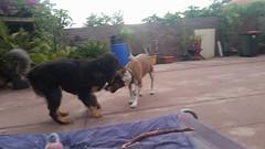 24909851_10214590363379730_427110471578608711_n (natedetienne) Tags: ash tibetan mastiff puppy tm