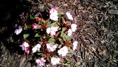 Memories of summer flowers! 365/107 (Maenette1) Tags: memories summer flowers spiespubliclibrary menominee uppermichigan flicker365 michiganfavorites project365
