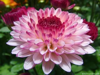 Chrysanthemum cultivar  [Flickr Explore: 17 Feb 2018]