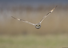 Short-eared owl : Asio flammeus (Jerry Hawker) Tags: aust austwharf shortearedowl asioflammeus owl flight fly flying hunt hunting jerryhawker