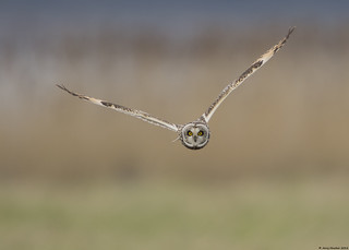 Short-eared owl : Asio flammeus