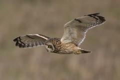 Hunting Owl (Chris Bainbridge1) Tags: asioflammeus shortearedowl in flight canon 5dsr cambridgeshire