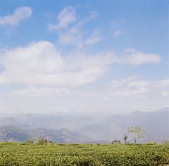 Dalat Jan'18 ([B]ear) Tags: da lat dalat vietnam highland landscape tea teacrop teafield sky film filmisnotdead filmphotography istillshotfilm hasselblad 500cm portra400 vietnamese travel