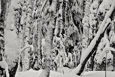 Never-ending (Stefano Rugolo) Tags: stefanorugolo pentax k5 pentaxk5 vivitar80200mmf4macrofocusingzoommc monochrome snow tree forest winter hälsingland sweden sverige neverending