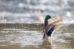 Duck movement.
