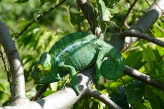 Nosy Be male Panther Chameleon