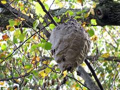 Bald-faced Hornet Nest (treegrow) Tags: washingtondc rockcreekpark lifeonearth nature arthropoda insect hymenoptera vespidae taxonomy:binomial=dolichovespulamaculata dolichovespulamaculata