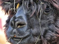 Hola... (libra1054) Tags: vicugnapacos alpaca alpaga alpaka tiere animals animales animali animaux animais tierportraits ritrattidianimali retratosdeanimais retratosdeanimales portraitsdanimaux animalportraits closeup