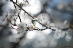 Ombres et lumières printaniaires (jpto_55) Tags: fleur merisier bokeh xe1 fuji fujifilm fuji35mmf2 hautegaronne france