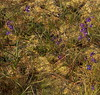 Delphinium, Josephine Co, OR (RonParsonsflowershots) Tags: delphinium josephineco or