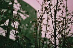 .poetic memory. (Camila Guerreiro) Tags: film pentaxmesuper expiredfilm camilaguerreiro românia bucharest centuria analog grain expired centuriasuper200 flowers