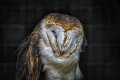 Barn Owl - Toronto Zoo (KWPashuk) Tags: nikon d7200 tamron lightroom luminar 2018 luminar2018 kpashuk kwpashuk toronto zoo ontario canada wildlife owl barn bird raptor torontozoo