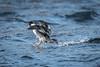 Bumpy Landing (Vic Zigmont) Tags: bufflehead birdinflight
