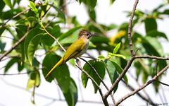 Mountain Bulbul (Ixos mcclellandii) (Steve Arena) Tags: maewong maewongnationalpark dawnamountainrange changwat amphoemaewong nakhonsawan thailandhttpthailandbirding2017blogspotcom2017 thailand thailandbirding2017 bird birds birding nikon d750 2017 mountainbulbul bulbul ixosmcclellandii