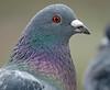 pidgeon artis BB2A9214 (j.a.kok) Tags: vogel bird artis duif pidgeon
