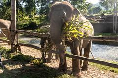 Elephant Nature Park (sheiladeeisme) Tags: elephantnaturepark elephants nature park naturepark sanctuary chiangmai thailand seasia asia northernthailand travel tourist tourism shevo