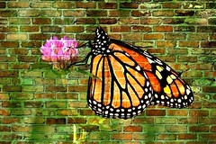 Female Monarch Butterfly Brick Wall Effect 001 (Chrisser) Tags: insects insect butterflies butterfly monarch danausplexippus nature ontario canada canoneosrebelt6i canonef75300mmf456iiiusmlens picmonkey