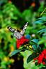 2010-10-06s Rice Paper Butterfly ([Ananabanana]) Tags: d40 gimp photoscape 1855mm 1855 nikkor nikon50mm118ais nikkor50mm118ais nikkor50mmf18 nikon50mmf18 50mm nikonistas nikonista niftyfifty manualfocus prime primelens uk unitedkingdom london kew botanic botanicgardens kewbotanicgardens butterfly lepidoptera butterflyhouse conservatory paperkite ricepaper largetreenymph paperkitenymph ricepapernymph largetreenymphbutterfly whiteblackbutterfly whiteandblackbutterfly idealeuconoe insect