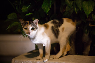 Timothy Cat Night