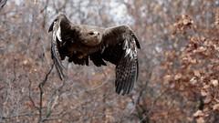 No limits ! (carlo612001) Tags: eagle wildlife woods inflyght wings raptors predators avian