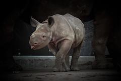 Black Rhino baby MARA (K.Verhulst) Tags: neushoorn rhino blijdorp rotterdam zwarteneushoorn blackrhino diergaardeblijdorp rotterdamzoo