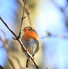 Bob Robin (Barry Miller _ Bazz) Tags: outdoorphotography 5d3 300mmf4l robin wildlife nature canon victoria park widnes cheshire halton