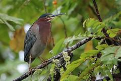 Green heron, Costa Rican style! (avilacats) Tags: canonegroriver costarica greenheron