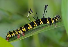 moth caterpillar (mishko2007) Tags: thailand chiangmai 105mmf28 larva