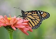 Monarch (NaturewithMar) Tags: monarch butterfly macro zinnia flower 7dwf friday flora