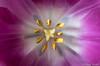Tulip Close-up (manxmaid2000) Tags: tulip flower macro closeup stamen pollen purple pistil liliaceae inside bloom petal yellow colour color fuji depthoffield fujifilm pink delicate nature