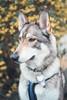 Yellow (Knsartist) Tags: dog flower spring bush nature wolf tamaskan happy daytime fur husky dogs trees