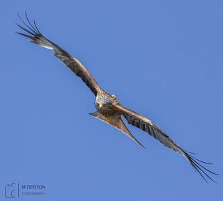 Leeds Red Kite